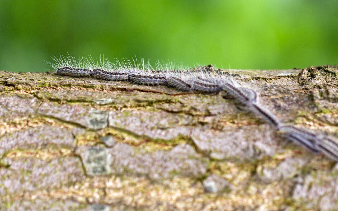 Gefahr Eichenprozessionsspinner - Eichenprozessionsspinner laufen in einer Reihe über einen Baumstamm, Nahaufnahme.