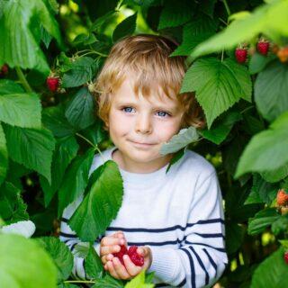 Giftpflanzen Spielplatz – Ein kleiner Junge steht in einem Strauch und hält rote Himbeeren in den Händen.